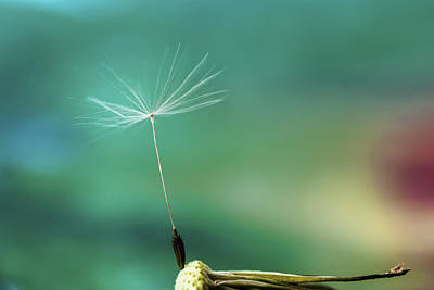 Photograph - Single Dandelion Seed With Colorful Background by Vishwanath Bhat