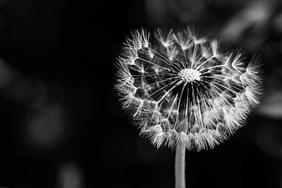 Photograph - Single Dandelion With Some Lost Seeds In Monochrome by Vishwanath Bhat