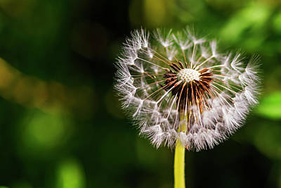 Photograph - Single Dandelion With Some Lost Seeds by Vishwanath Bhat