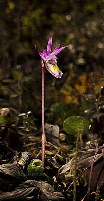 Photograph - Single Fairy Slipper by Fred Denner