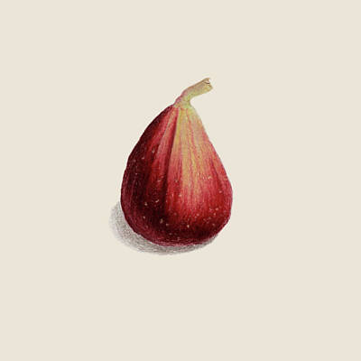 Figtree Drawing - Single Fig by Carlee Lingerfelt