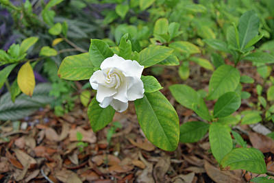 Photograph - Single Gardenia Blossom by Aimee L Maher ALM GALLERY