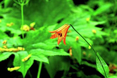 Photograph - Single Gray's Lily by Meta Gatschenberger