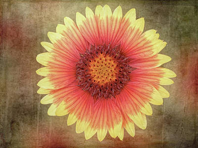 Photograph - Single Indian Blanket Flower by Leslie Montgomery
