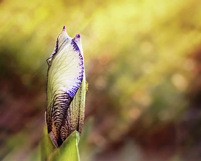 Photograph - Single Iris Bud - Flower Photography by Ann Powell