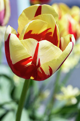 Photograph - Single Late Tulips, World Expression by Dawn Cavalieri