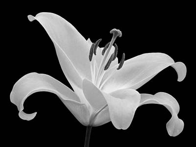 Photograph - Single Lily In Black And White by Gill Billington