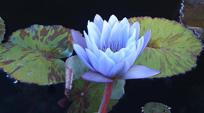 Lotus Leaves Photograph - Single Lotus Blossom by Douglas Barnett