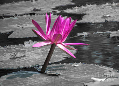 Photograph - Single Lotus by Judy Hall-Folde