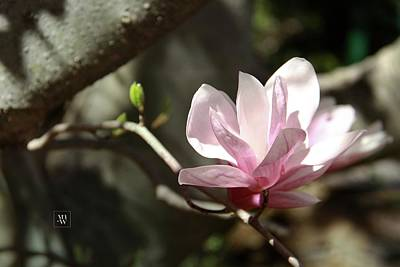 Photograph - Single Magnolia Blossom by Yvonne Wright