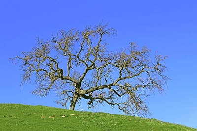 Photograph - Single Oak Tree by Art Block Collections