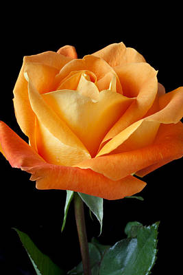 Fragrance Photograph - Single Orange Rose by Garry Gay