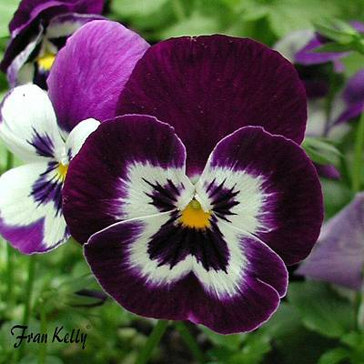 Photograph - Single Pansy by Fran Kelly