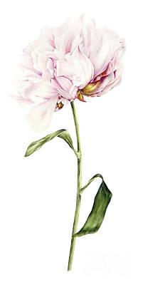 Single Flower Painting - Single Peony by Marie Burke