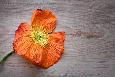 Painting - Single Poppy On Wood by Joy of Life Art Gallery