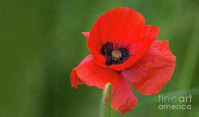Romance Photograph - Single Poppy. by Sebastien Coell