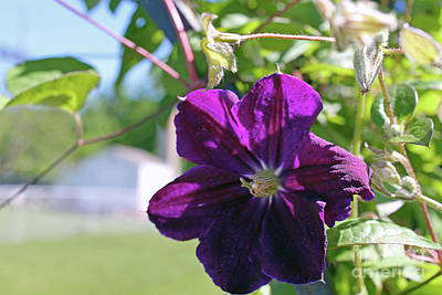 Photograph - Single Purple Clematis by Dan De Ment