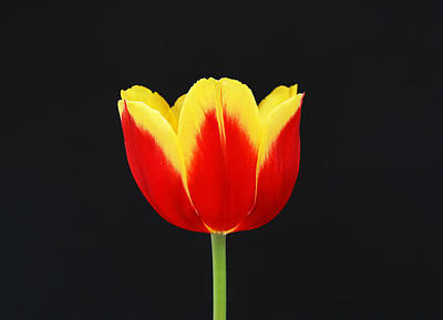 Photograph - Single Red And Yellow Tulip On Black by Allen Beatty