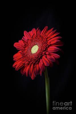 Gerbera Daisy Photograph - Single Red Flower by Edward Fielding
