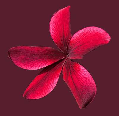 Photograph - Single Red Plumeria by Pamela Walton