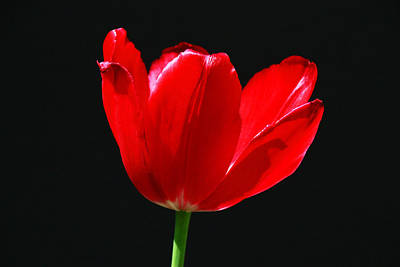 Water Droplets Sharon Johnstone - Single Red Tulip on Black by Allen Beatty