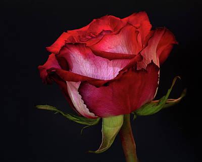 Photograph - Single Rose by Craig Strand