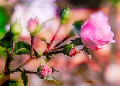 Photograph - Single Rose22 by Susan Crossman Buscho