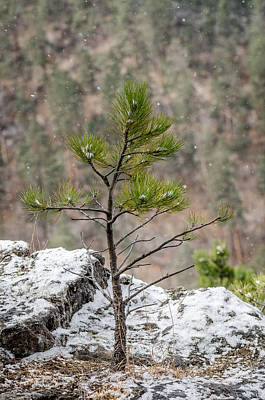 Photograph - Single Snowy Pine by Dakota Light Photography By Dakota