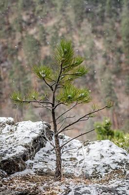 Photograph - Single Snowy Pine by Dakota Light Photography By Dakota