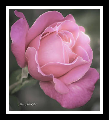 Photograph - Single Stem Pink Rose by Joann Copeland-Paul