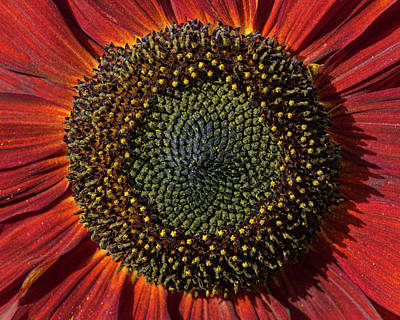 Photograph - Single Sun Flower by Pete Hemington
