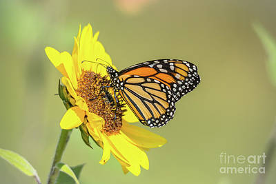 Photograph - Single Sunflower Monarch by Cheryl Baxter