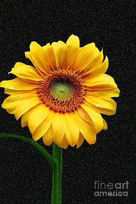 Photograph - Single Sunflower by Nina Silver