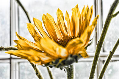 Photograph - Single Sunflower by Sharon Popek