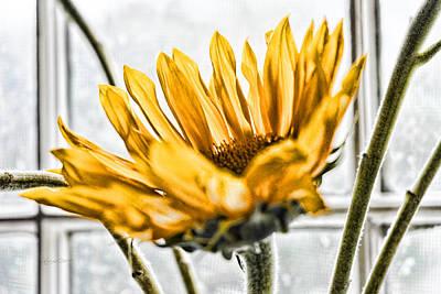 Sunflower Photograph - Single Sunflower by Sharon Popek