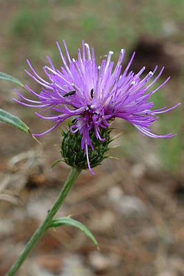Photograph - Single Thistle by Laurel Powell