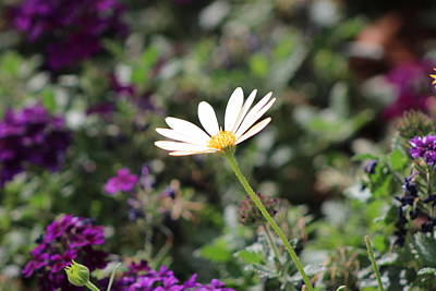 Single White Daisy On Purple Art Print by Colleen Cornelius