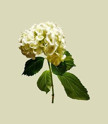 Photograph - Single White Hydrangea by Susan Savad