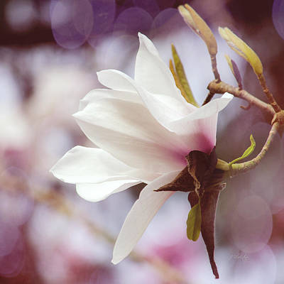 Photograph - Single White Magnolia by Jordan Blackstone