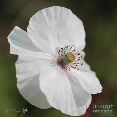 Photograph - Single White Poppy From The Angel's Choir Mix by J McCombie