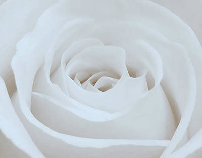 Photograph - Single White Rose by Suzanne Stout