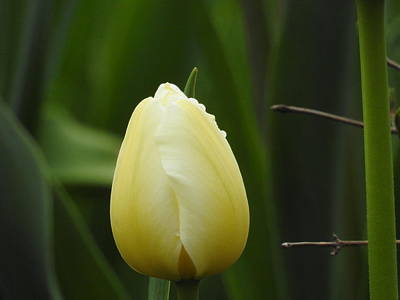 Photograph - Single White Tulip by Betty-Anne McDonald