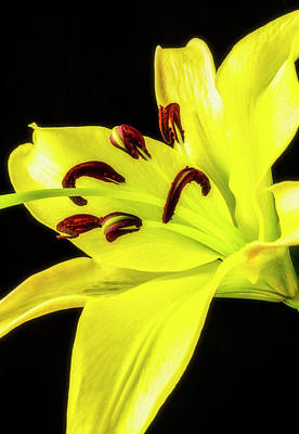 Photograph - Single Yellow Lily by Garry Gay