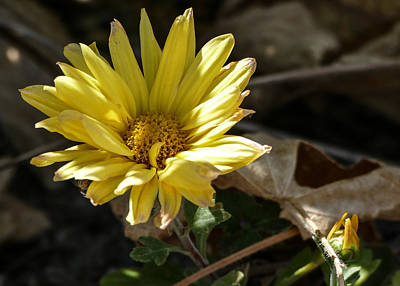 Photograph - Single Yellow Mum by Laurel Powell