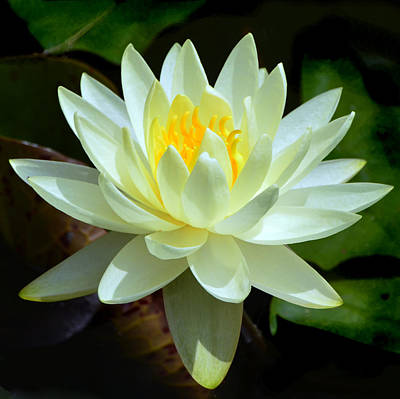Photograph - Single Yellow Water Lily by Kathleen Stephens