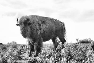 Photograph - Silhouette Of A Lamar Valley Bison At Yellowstone by Adam Jewell