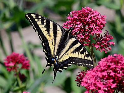 Photograph - Sippin On Nectar - Swallowtail by KJ Swan