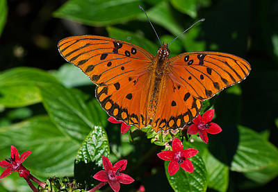 Photograph - Sipping Gulf Fritillary by Kenneth Albin