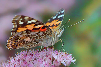 Photograph - Sipping Nectar - Painted Lady by Nikolyn McDonald