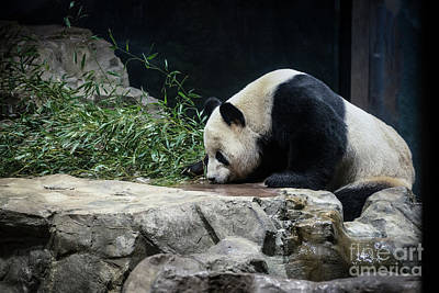 Photograph - Sipping Panda by Judy Wolinsky